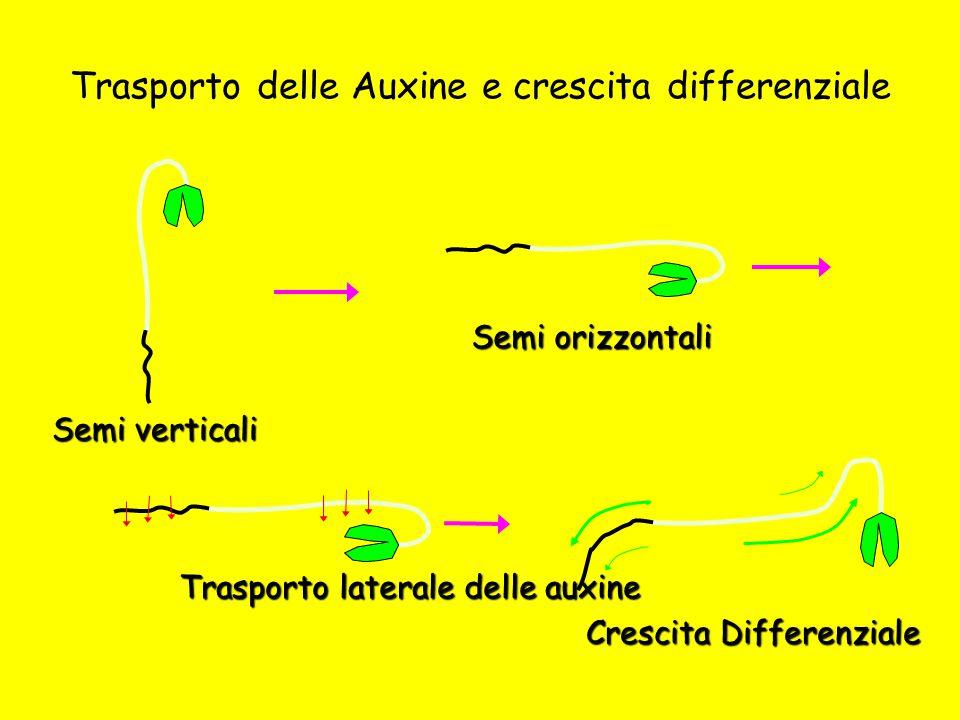 Trasporto delle Auxine e crescita differenziale Semi orizzontali Trasporto laterale delle auxine Crescita Differenziale Semi verticali