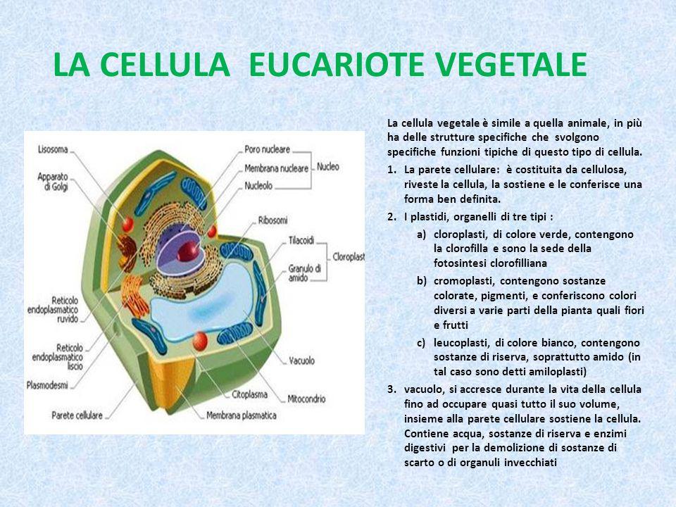 LA CELLULA EUCARIOTE VEGETALE La cellula vegetale è simile a quella animale, in più ha delle strutture specifiche che svolgono specifiche funzioni tip