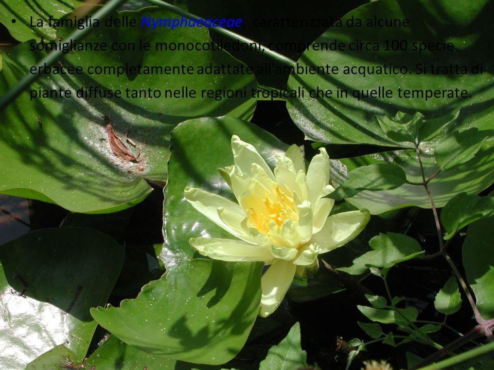 La famiglia delle Nymphaeaceae, caratterizzata da alcune somiglianze con le monocotiledoni, comprende circa 100 specie erbacee completamente adattate all ambiente acquatico.