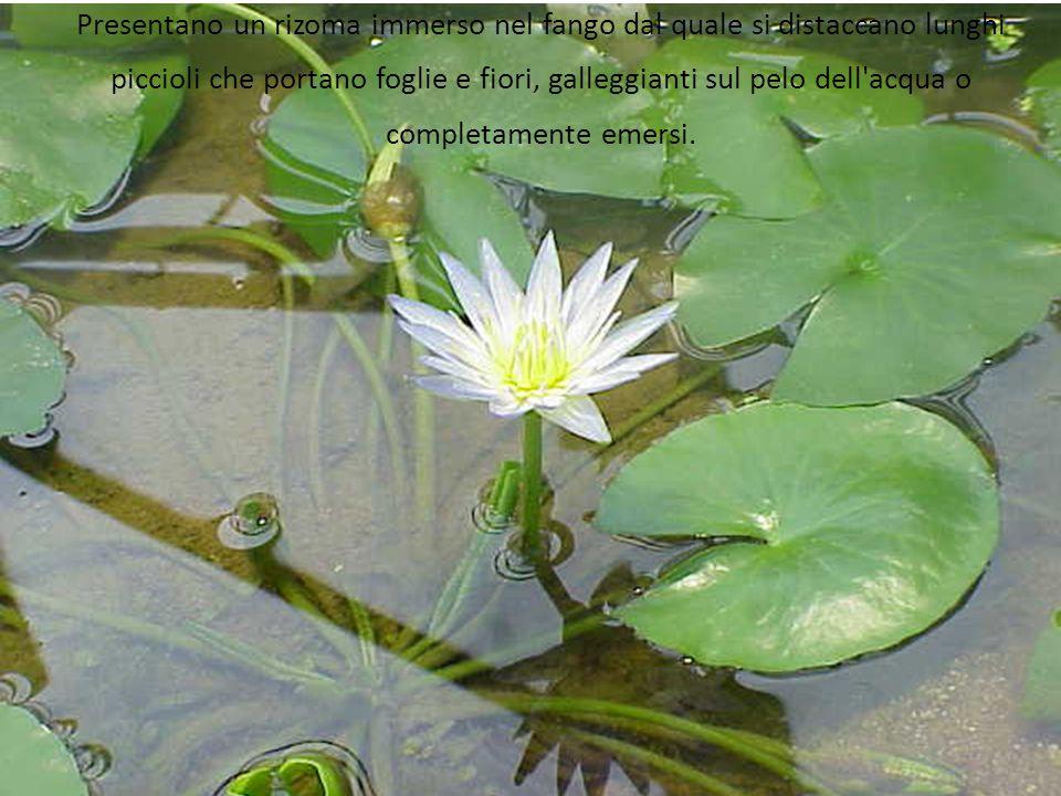 Presentano un rizoma immerso nel fango dal quale si distaccano lunghi piccioli che portano foglie e fiori, galleggianti sul pelo dell acqua o completamente emersi.