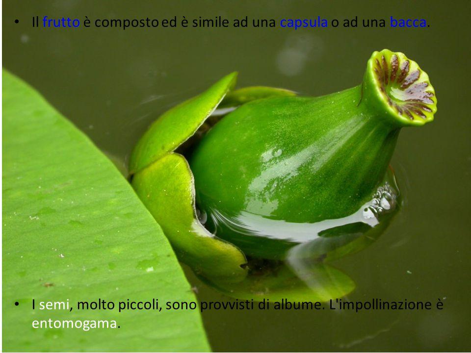 Il frutto è composto ed è simile ad una capsula o ad una bacca.