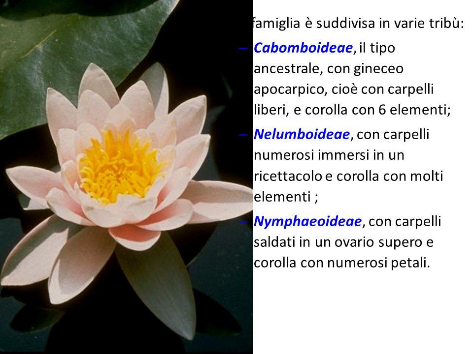 Il loto (Nelumbo nucifera) è utilizzato anche a scopo alimentare e si riscontra, come specie naturalizzata, in alcuni corpi idrici dell Italia centro- settentrionale.Nelumbo nucifera Le Nymphaeaceae sono note soprattutto come piante ornamentali per acquari, vasche, stagni e laghetti.