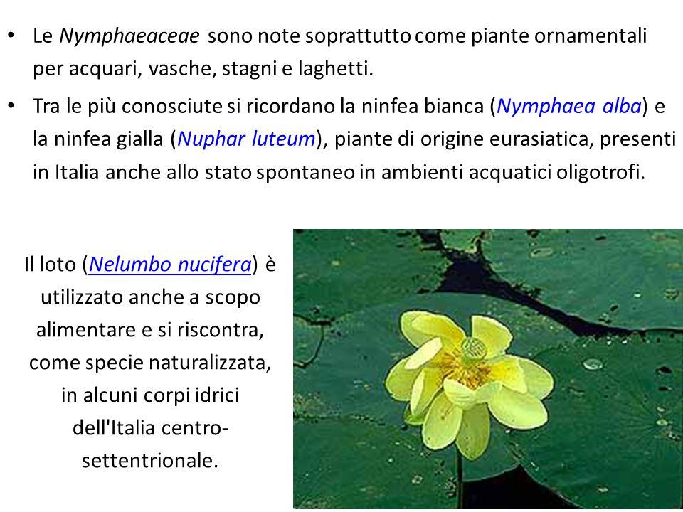Nymphaea alba L.