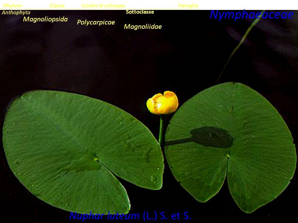 Nuphar luteum (L.) S. et S.