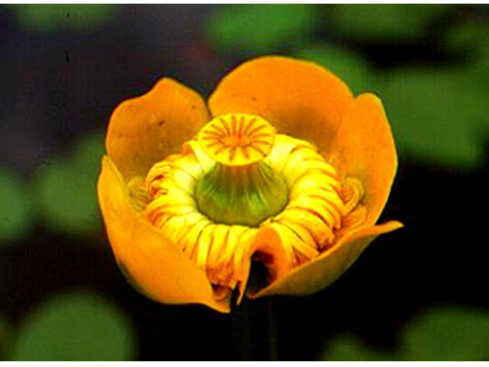 La famiglia delle Ranunculaceae comprende per lo più piante erbacee soprattutto perenni con foglie alterne prive di stipole, spesso divise.