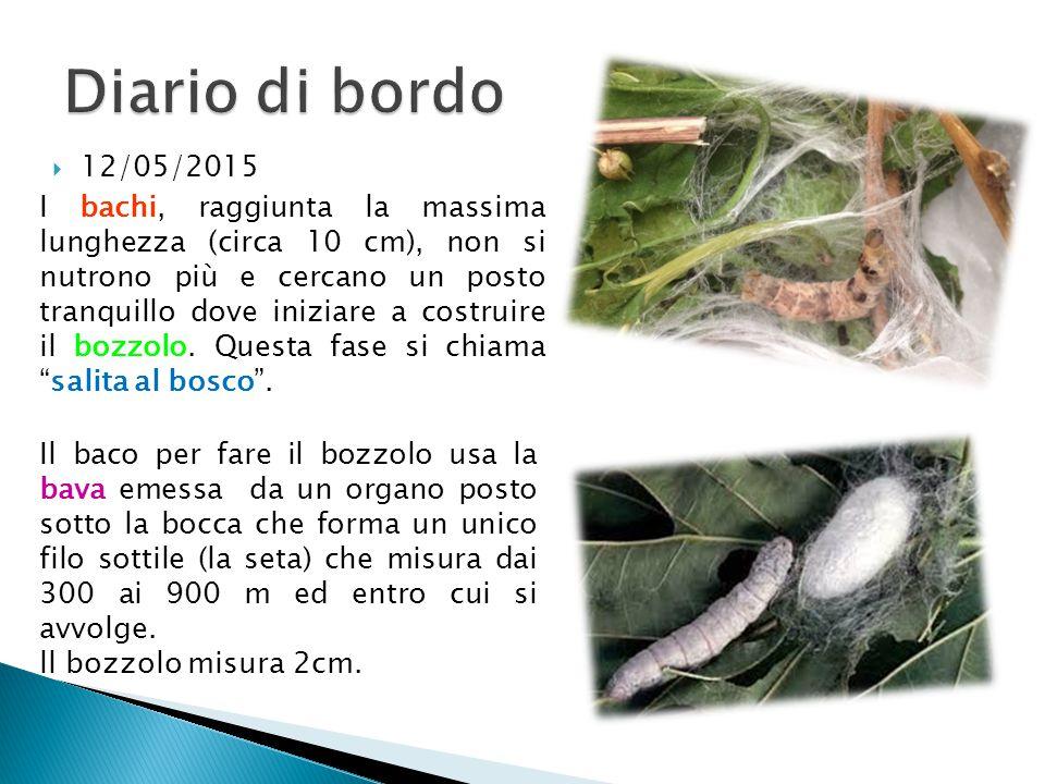  28/04/2015 Lunghezza del bruco: 4cm  8/05/2015 I bruchi continuano a crescere, oggi misurano 6cm. Hanno proprio tanta fame!!!