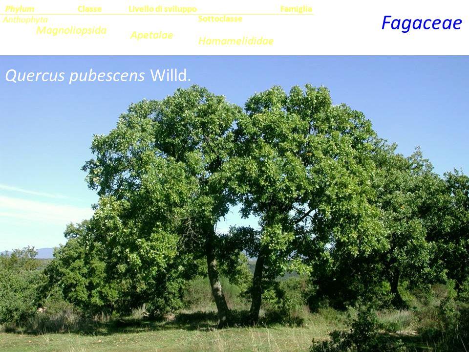 Quercus pubescens Willd.