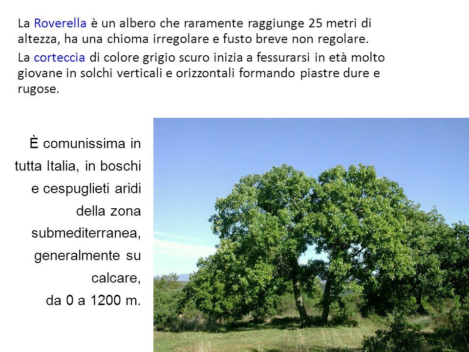 La Roverella è un albero che raramente raggiunge 25 metri di altezza, ha una chioma irregolare e fusto breve non regolare.