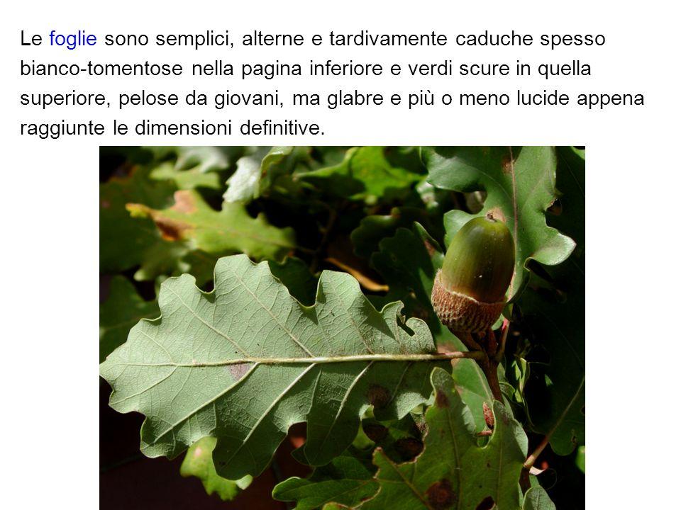 Le foglie sono semplici, alterne e tardivamente caduche spesso bianco-tomentose nella pagina inferiore e verdi scure in quella superiore, pelose da gi