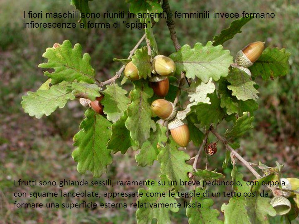 I frutti sono ghiande sessili, raramente su un breve peduncolo, con cupola con squame lanceolate, appressate come le tegole di un tetto così da formare una superficie esterna relativamente liscia.