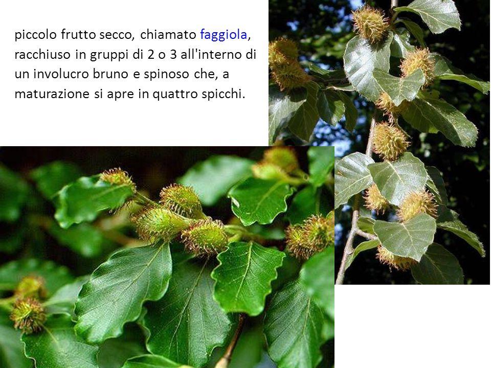 piccolo frutto secco, chiamato faggiola, racchiuso in gruppi di 2 o 3 all interno di un involucro bruno e spinoso che, a maturazione si apre in quattro spicchi.