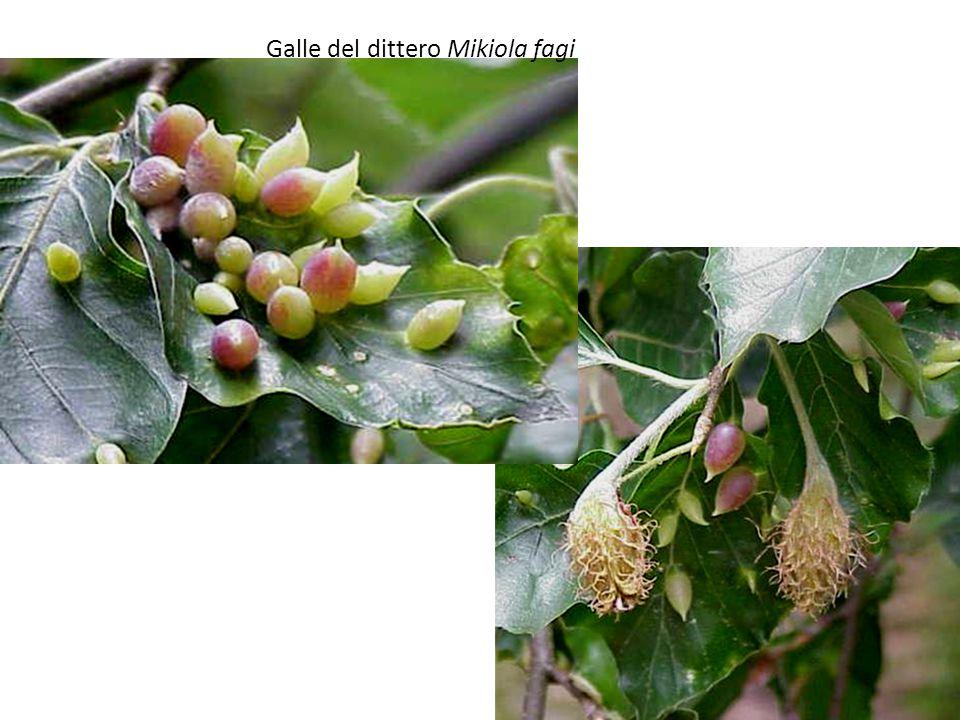 Il genere Quercus comprende circa 350 specie arboree, con foglie penninervie a margine intero, dentato o lobato.