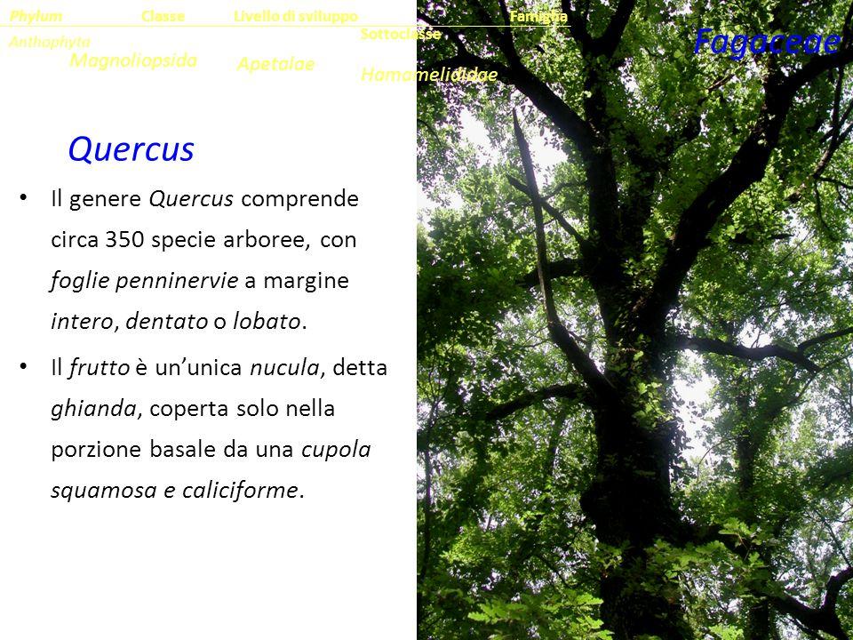 Il genere Quercus comprende circa 350 specie arboree, con foglie penninervie a margine intero, dentato o lobato. Il frutto è un'unica nucula, detta gh