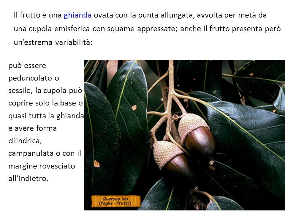 Il frutto è una ghianda ovata con la punta allungata, avvolta per metà da una cupola emisferica con squame appressate; anche il frutto presenta però u