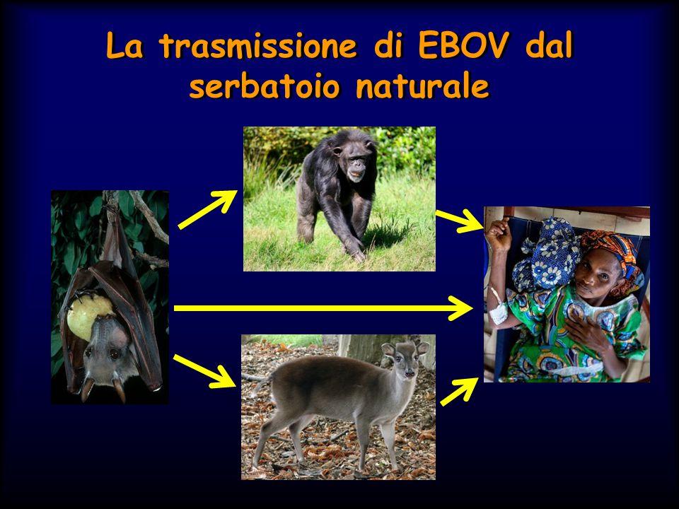 La trasmissione di EBOV dal serbatoio naturale