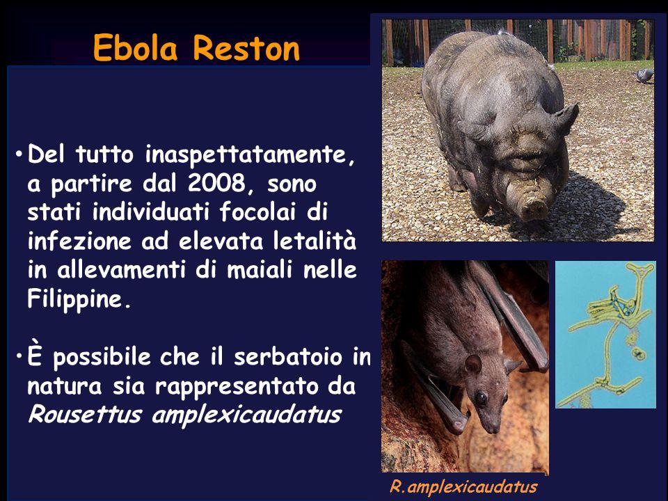 Ebola Reston Macaca fascicularis Ebola Reston viene identificato nel 1989 negli USA in M.fascicularis in cattività e successivamente nelle Filippine in esemplari in libertà L'infezione ha elevata letalità nelle scimmie, ma non ha avuto effetti di rilievo nei 25 casi umani documentati.