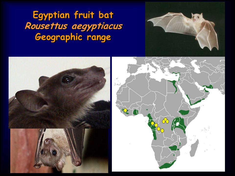 Egyptian fruit bat Rousettus aegyptiacus Geographic range