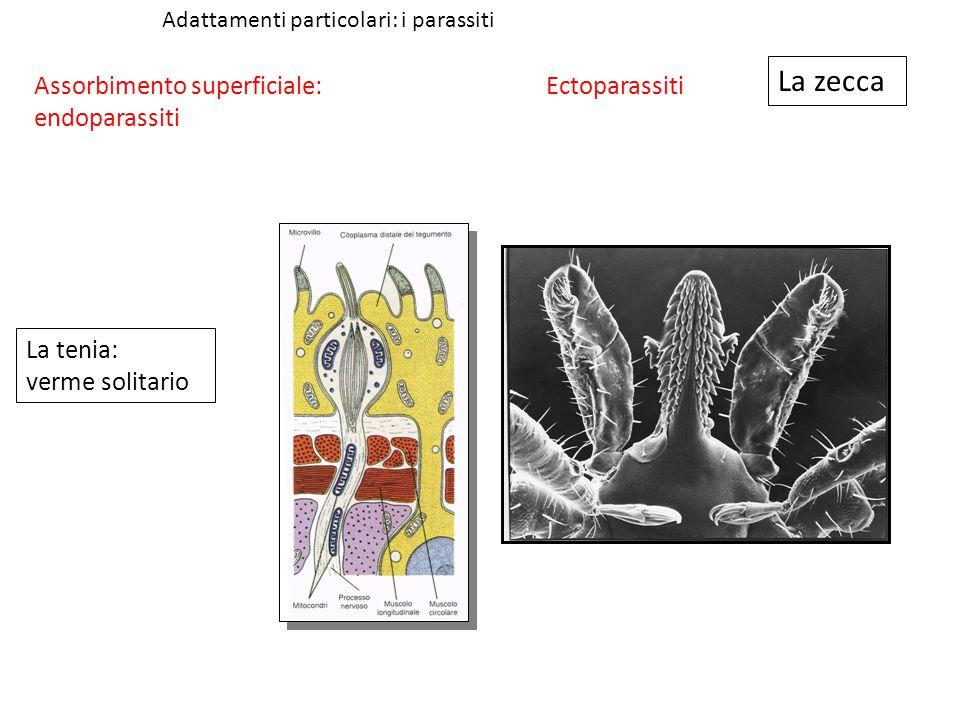 Adattamenti particolari: i parassiti La tenia: verme solitario La zecca Assorbimento superficiale: endoparassiti Ectoparassiti