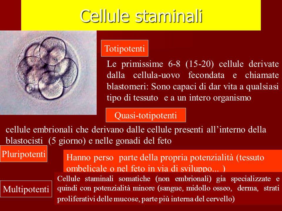 Cellule staminali Totipotenti Quasi-totipotenti Pluripotenti Multipotenti Le primissime 6-8 (15-20) cellule derivate dalla cellula-uovo fecondata e ch