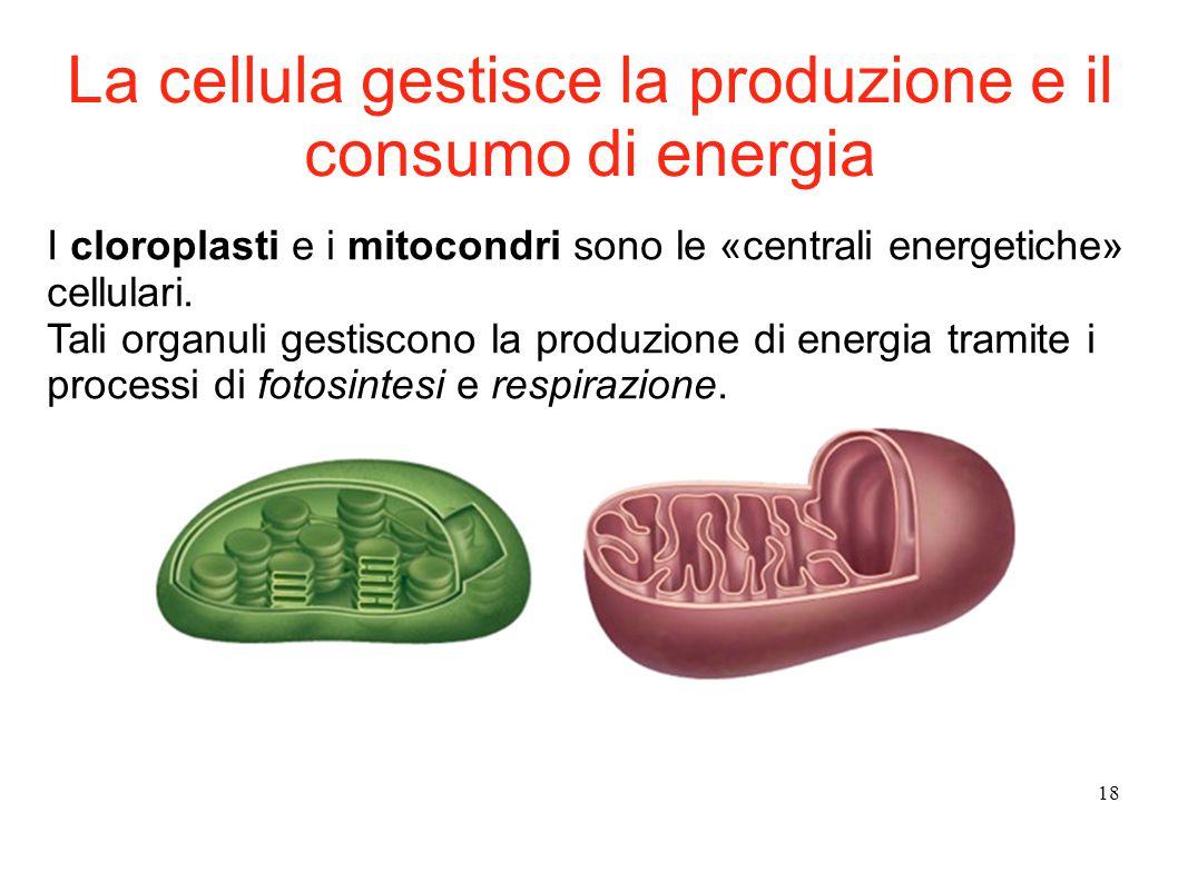 18 I cloroplasti e i mitocondri sono le «centrali energetiche» cellulari. Tali organuli gestiscono la produzione di energia tramite i processi di foto