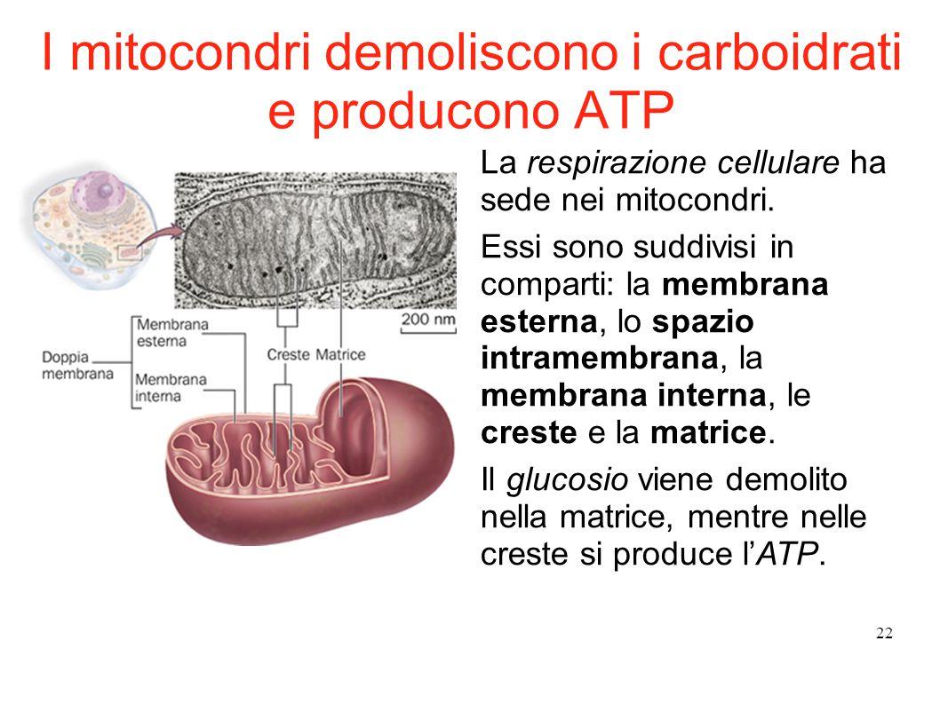 22 La respirazione cellulare ha sede nei mitocondri. Essi sono suddivisi in comparti: la membrana esterna, lo spazio intramembrana, la membrana intern