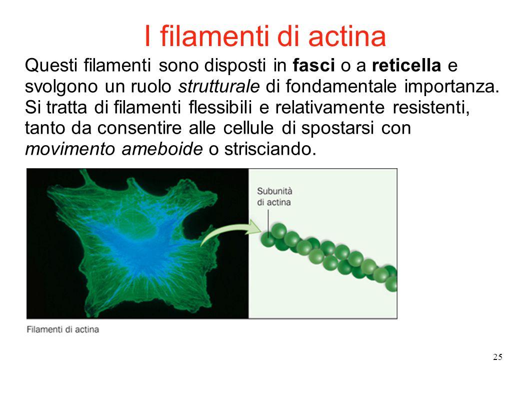 25 Questi filamenti sono disposti in fasci o a reticella e svolgono un ruolo strutturale di fondamentale importanza. Si tratta di filamenti flessibili