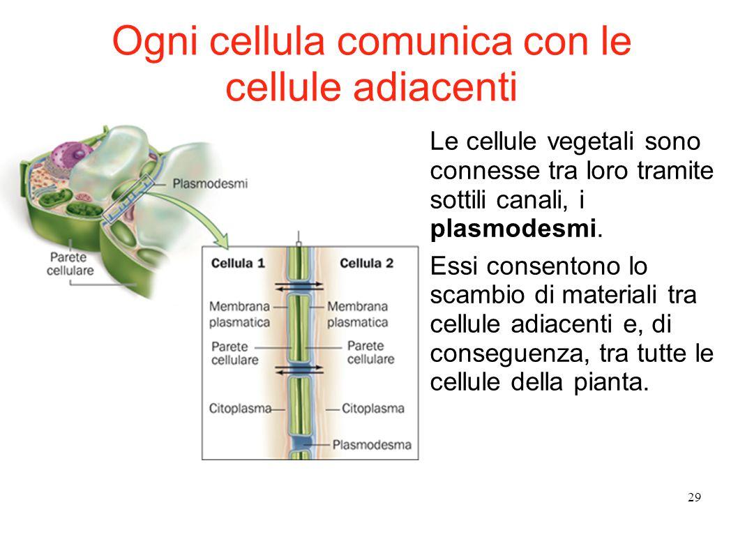 29 Le cellule vegetali sono connesse tra loro tramite sottili canali, i plasmodesmi. Essi consentono lo scambio di materiali tra cellule adiacenti e,