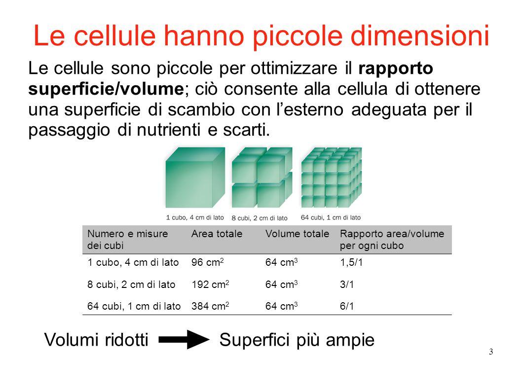 3 Le cellule sono piccole per ottimizzare il rapporto superficie/volume; ciò consente alla cellula di ottenere una superficie di scambio con l'esterno