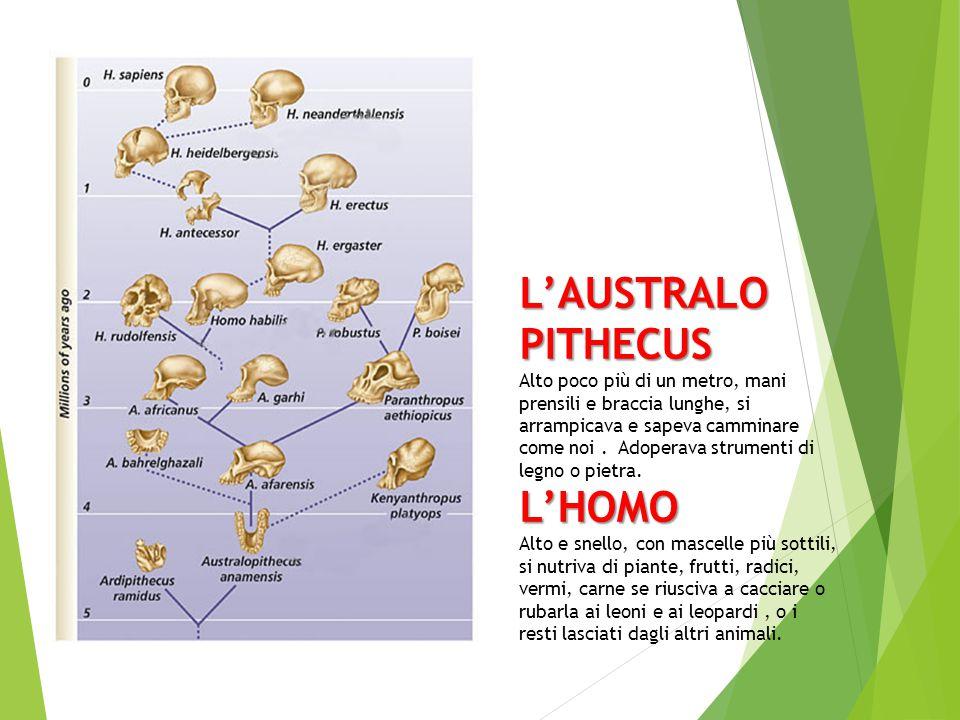 L'AUSTRALO PITHECUS L'HOMO L'AUSTRALO PITHECUS Alto poco più di un metro, mani prensili e braccia lunghe, si arrampicava e sapeva camminare come noi.