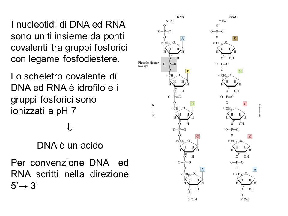 I nucleotidi di DNA ed RNA sono uniti insieme da ponti covalenti tra gruppi fosforici con legame fosfodiestere. Lo scheletro covalente di DNA ed RNA è