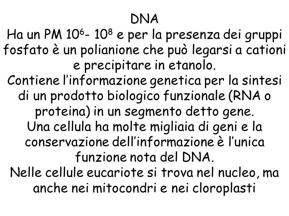 DNA Ha un PM 10 6 - 10 8 e per la presenza dei gruppi fosfato è un polianione che può legarsi a cationi e precipitare in etanolo. Contiene l'informazi