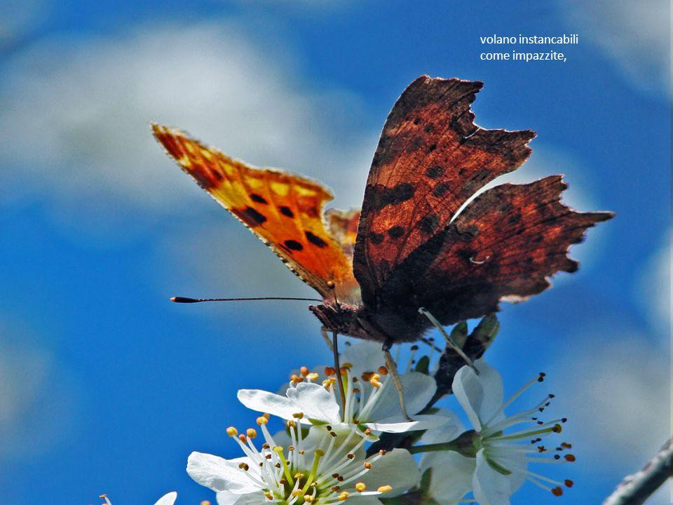 8 Le poche variopinte farfalle si contendono il poco nettare,