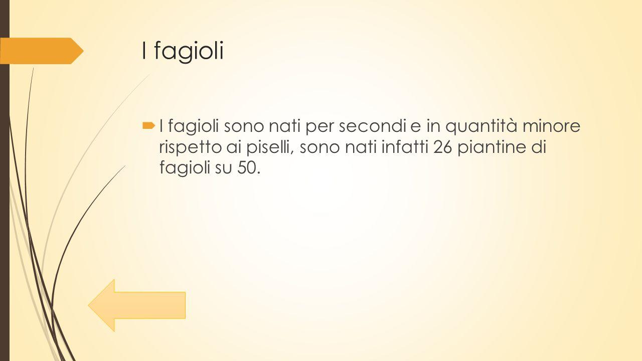 I fagioli  I fagioli sono nati per secondi e in quantità minore rispetto ai piselli, sono nati infatti 26 piantine di fagioli su 50.