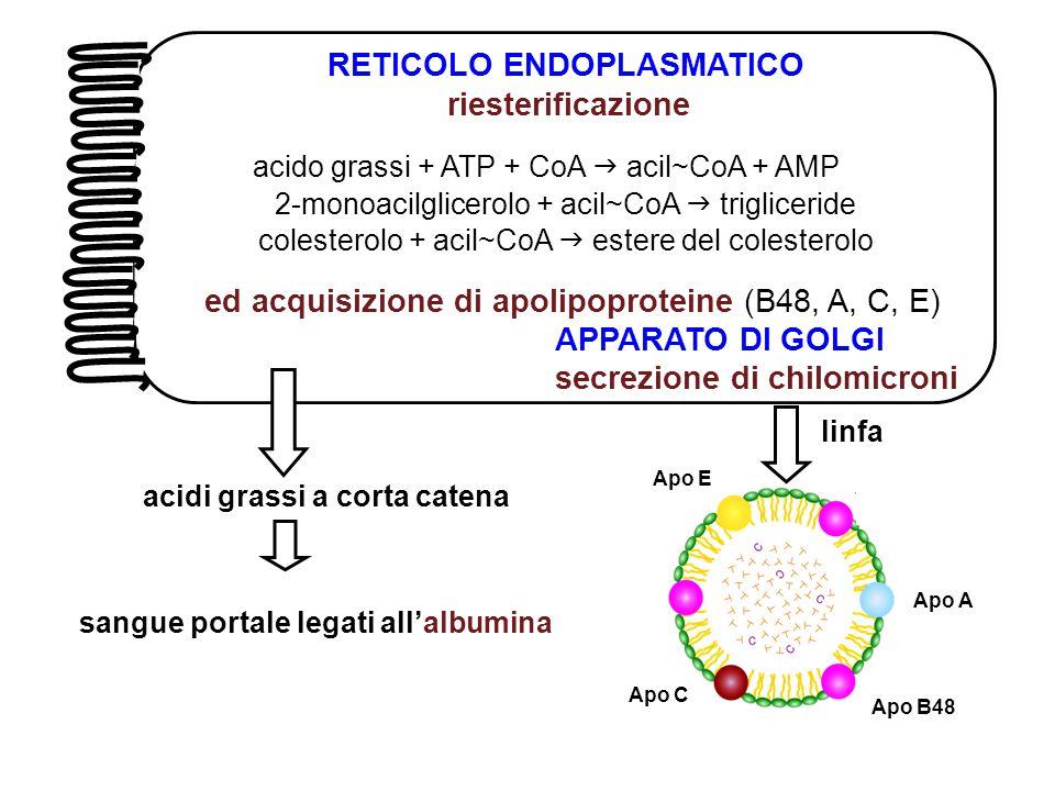 RETICOLO ENDOPLASMATICO riesterificazione acido grassi + ATP + CoA  acil~CoA + AMP 2-monoacilglicerolo + acil~CoA  trigliceride colesterolo + acil~C