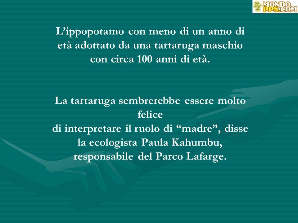 NAIROBI (AFP) NAIROBI (AFP) - Un cucciolo di ippopotamo sopravvissuto all'onda dello Tsunami sulla costa del Kenya ha creato un legame affettivo con una tartaruga maschio gigante centenária, in un ricovero per animali del porto della città di Mombassa.