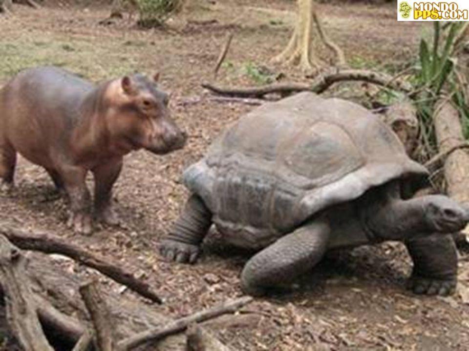 """Nadam, cammina e dorme ha soggiunto l'ecologista Kahumbu: """"L'ippopotamo segue la tartaruga esattamente come farebbe con sua madre. Se qualcuno si avvi"""