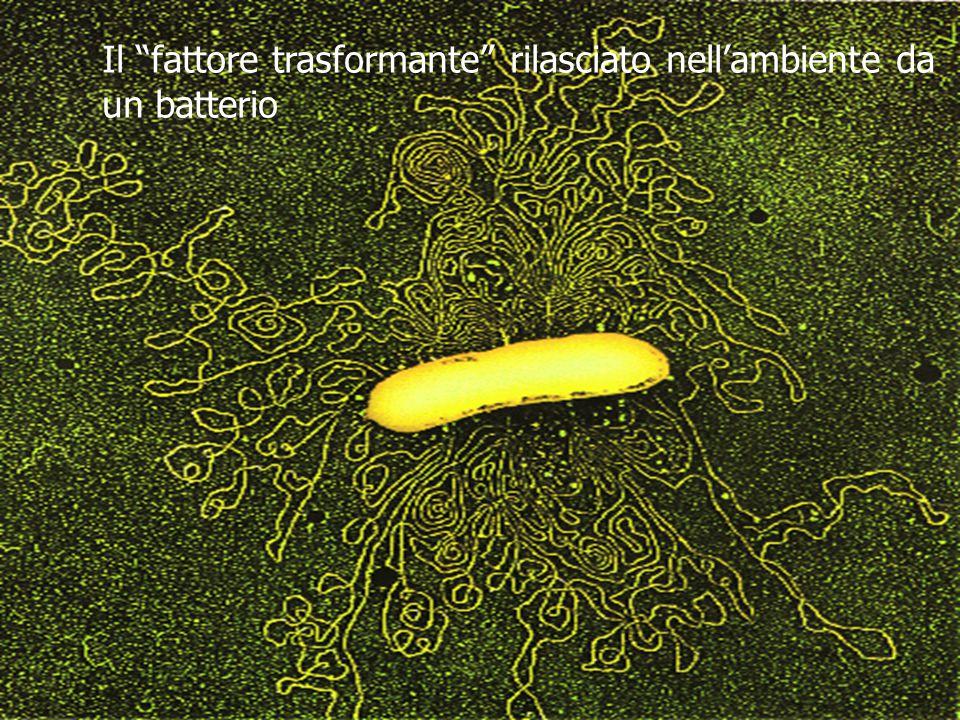 Il fattore trasformante rilasciato nell'ambiente da un batterio