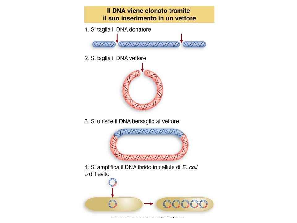 mRNA totale sonda RNA antisenso mRNA globina cap 5'5'3'3' ibridazione trattamento con RNasi Analisi dei frammenti protetti su gel di sequenza frammento protetto