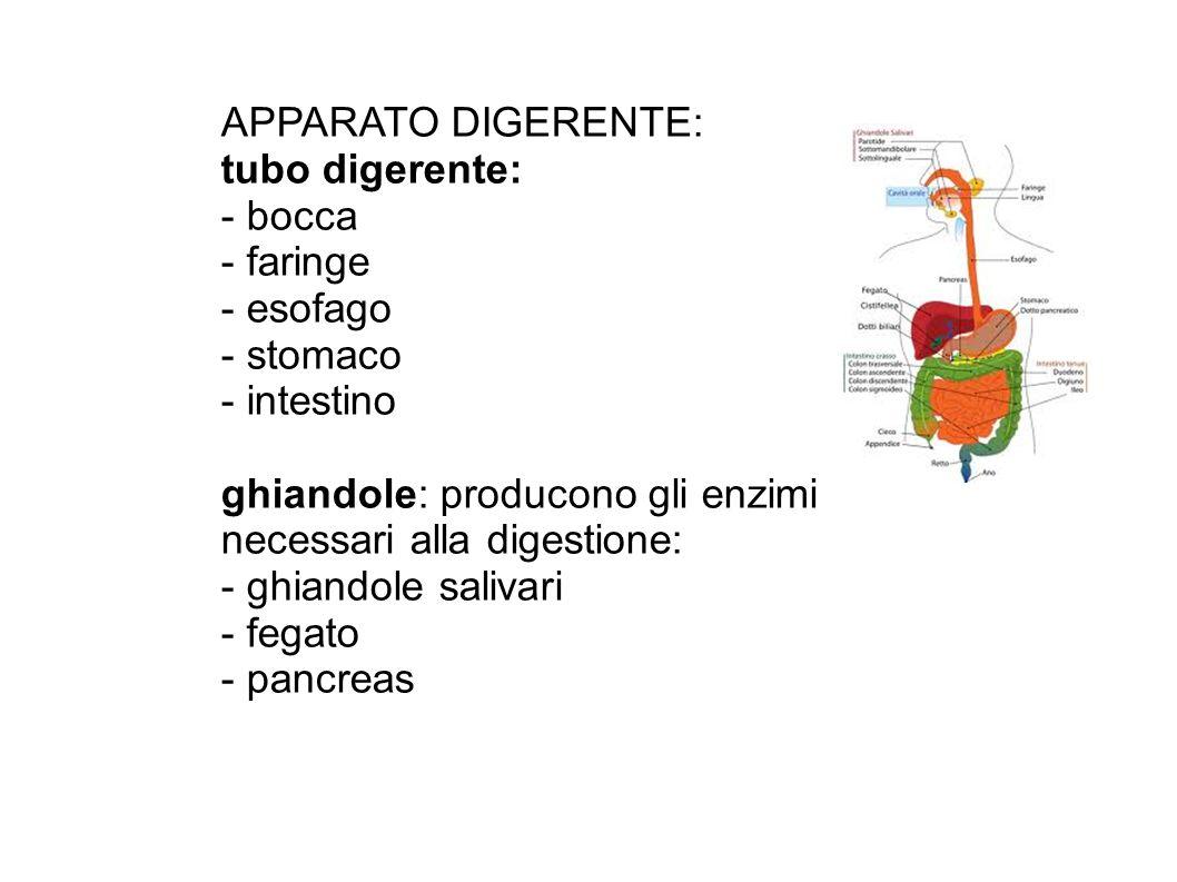 BOCCA: labbra, lingua con cellule sensoriali per l organo del gusto, denti FARINGE: tubo nel quale transitano sia l aria che il cibo ESOFAGO: canale che mette in comunicazione con lo stomaco STOMACO: sacco formato da muscolatura liscia INTESTINO: è diviso in intestino TENUE e intestino CRASSO.