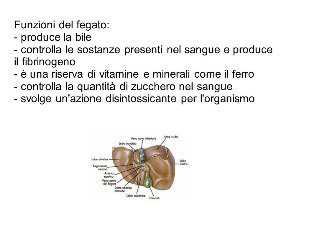 Funzioni del fegato: - produce la bile - controlla le sostanze presenti nel sangue e produce il fibrinogeno - è una riserva di vitamine e minerali com