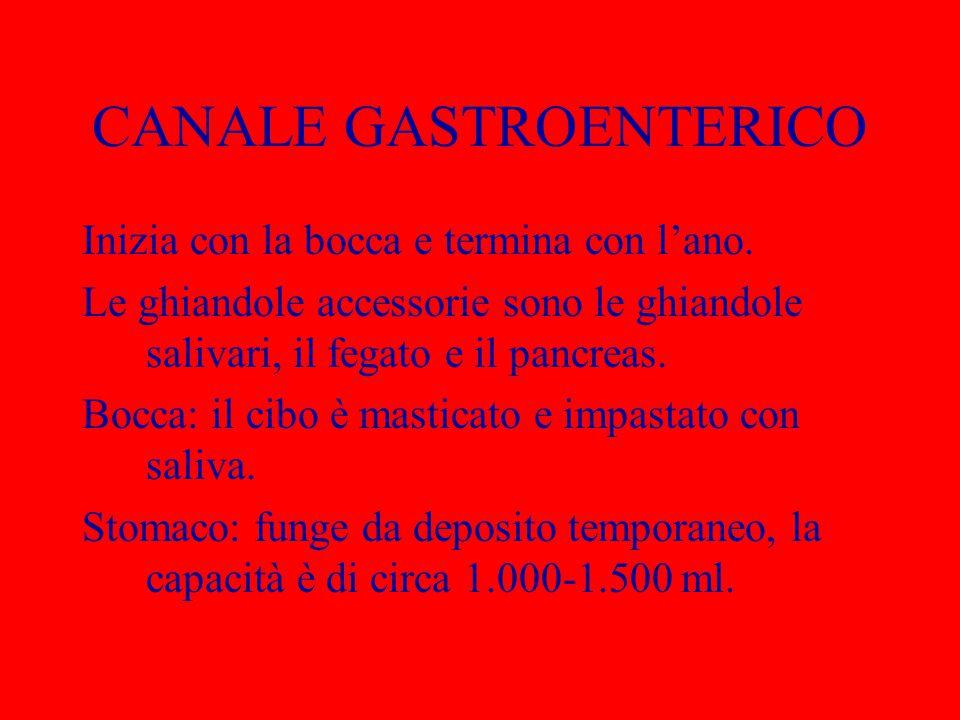 CANALE GASTROENTERICO Inizia con la bocca e termina con l'ano. Le ghiandole accessorie sono le ghiandole salivari, il fegato e il pancreas. Bocca: il
