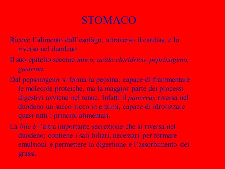 STOMACO Riceve l'alimento dall'esofago, attraverso il cardias, e lo riversa nel duodeno. Il suo epitelio secerne muco, acido cloridrico, pepsinogeno,
