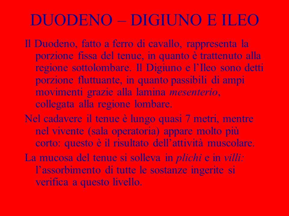 DUODENO – DIGIUNO E ILEO Il Duodeno, fatto a ferro di cavallo, rappresenta la porzione fissa del tenue, in quanto è trattenuto alla regione sottolomba