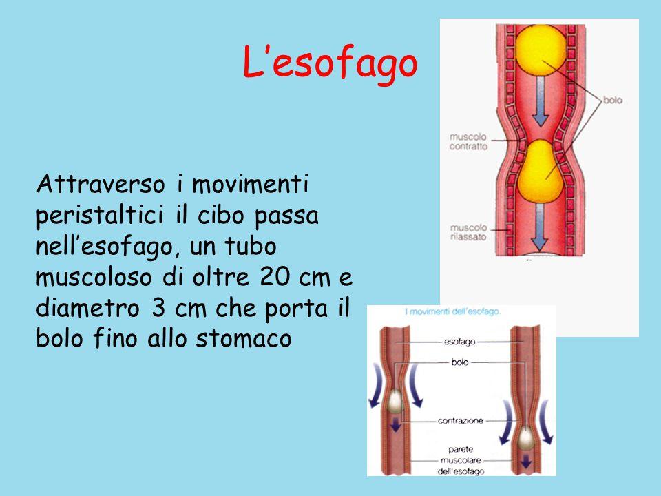 L'esofago Attraverso i movimenti peristaltici il cibo passa nell'esofago, un tubo muscoloso di oltre 20 cm e diametro 3 cm che porta il bolo fino allo