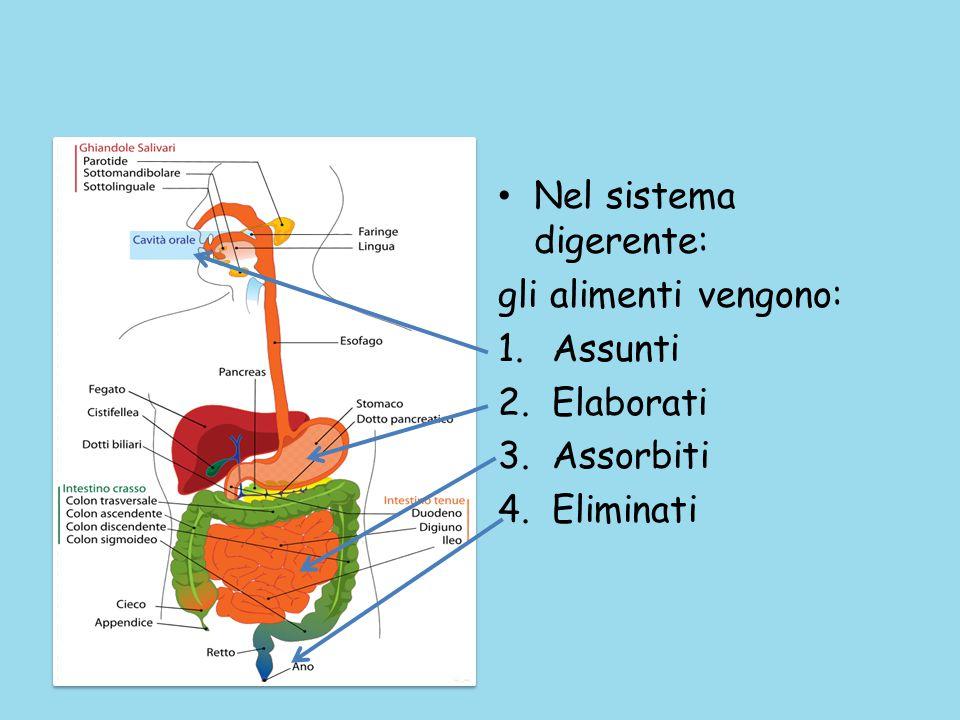 Nel sistema digerente: gli alimenti vengono: 1.Assunti 2.Elaborati 3.Assorbiti 4.Eliminati