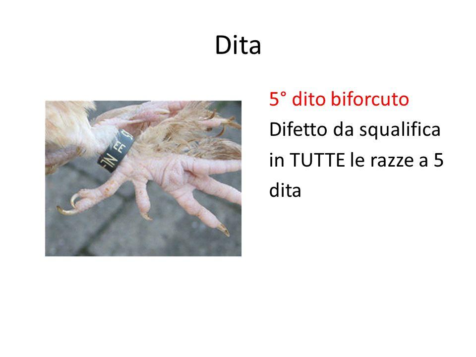 Dita 5° dito biforcuto Difetto da squalifica in TUTTE le razze a 5 dita