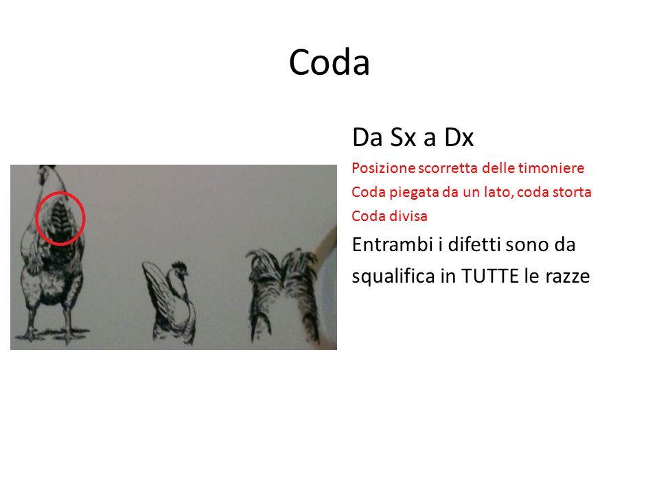 Coda Da Sx a Dx Posizione scorretta delle timoniere Coda piegata da un lato, coda storta Coda divisa Entrambi i difetti sono da squalifica in TUTTE le