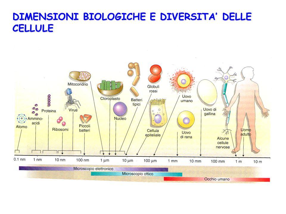 DIMENSIONIBIOLOGICHE E DIVERSITA' DELLE CELLULE DIMENSIONI BIOLOGICHE E DIVERSITA' DELLE CELLULE