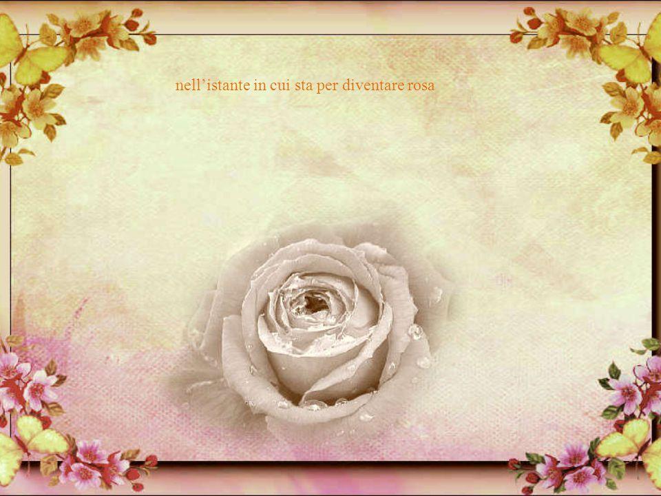 sembra il fiore colto, ancora coperto di rugiada