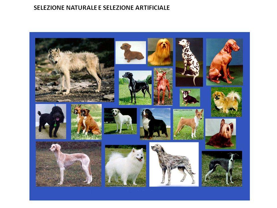 SELEZIONE NATURALE E SELEZIONE ARTIFICIALE